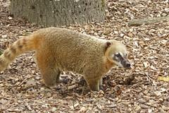 2018.06.19.061 CHAMPREPUS - Parc animalier - Coatis - Photo of Villedieu-les-Poêles