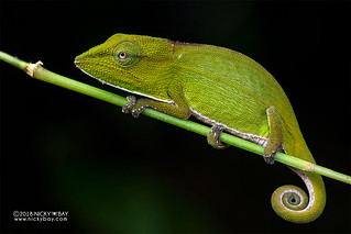 Perinet chameleon (Calumma gastrotaenia) - DSC_0512