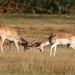 Fallow Deer Dama dama Buck 007-1