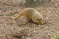 2018.06.19.063 CHAMPREPUS - Parc animalier - Coatis - Photo of Villedieu-les-Poêles