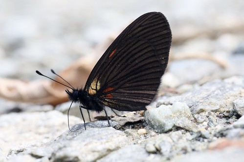 eltopo ecuador nymphalidae argynninae melitaeini