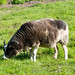 Jacob's sheep, Northycote Farm