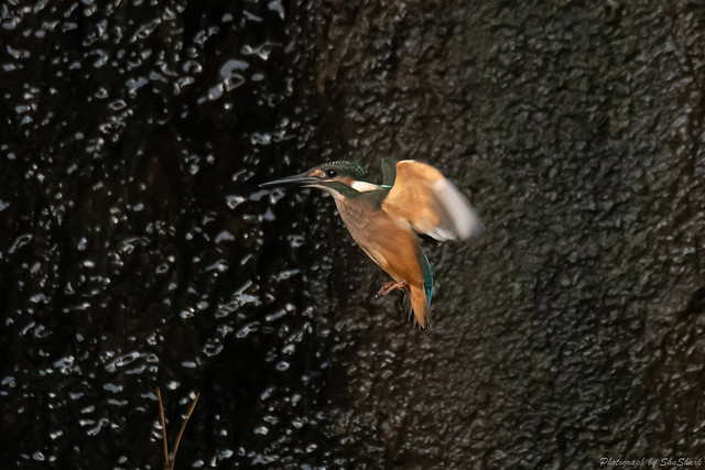 20180908-kingfisher-DSC_8395