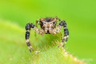 Crab spider (cf. Apyretina sp.) - DSC_0404