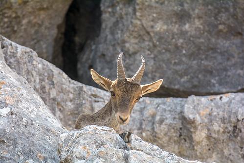 Iberian wild goat - Cabra Hispanica - iberische Wilde geit