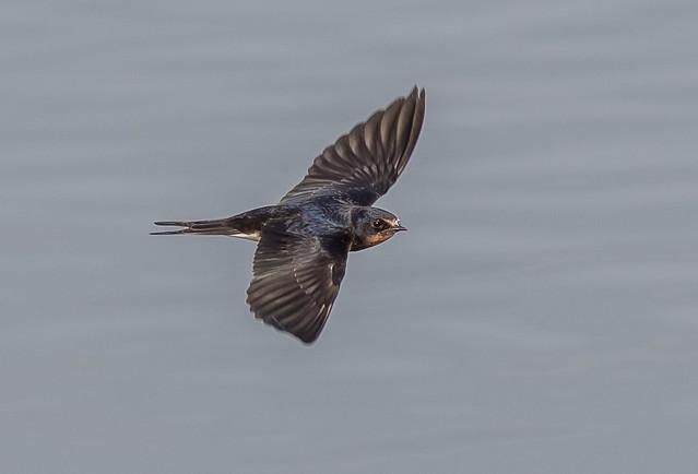 DSC1981  Swallow..