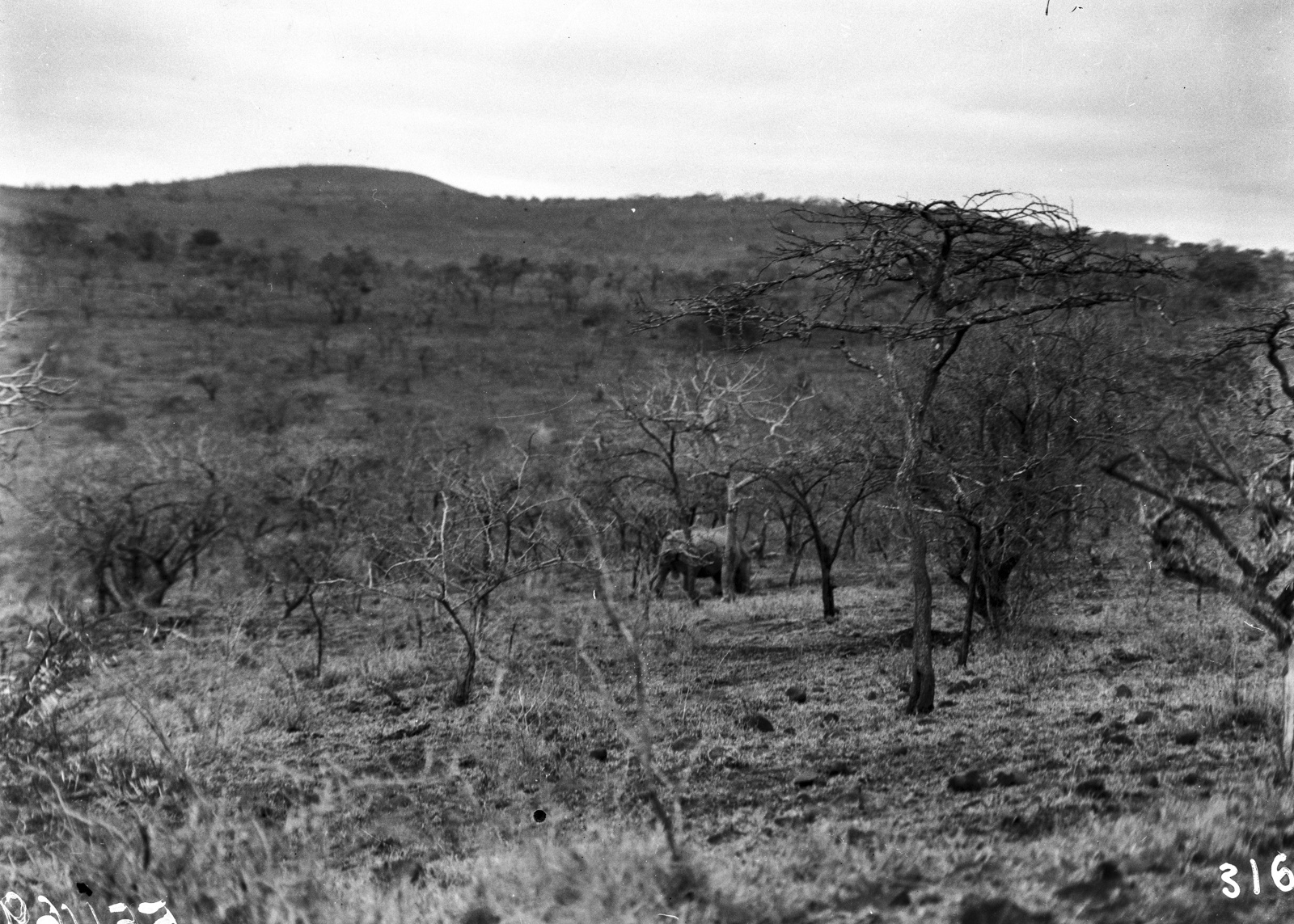Южно-Африканский Союз. Квазулу-Наталь. Носорог ищет пищу среди деревьев в парке Умфолози