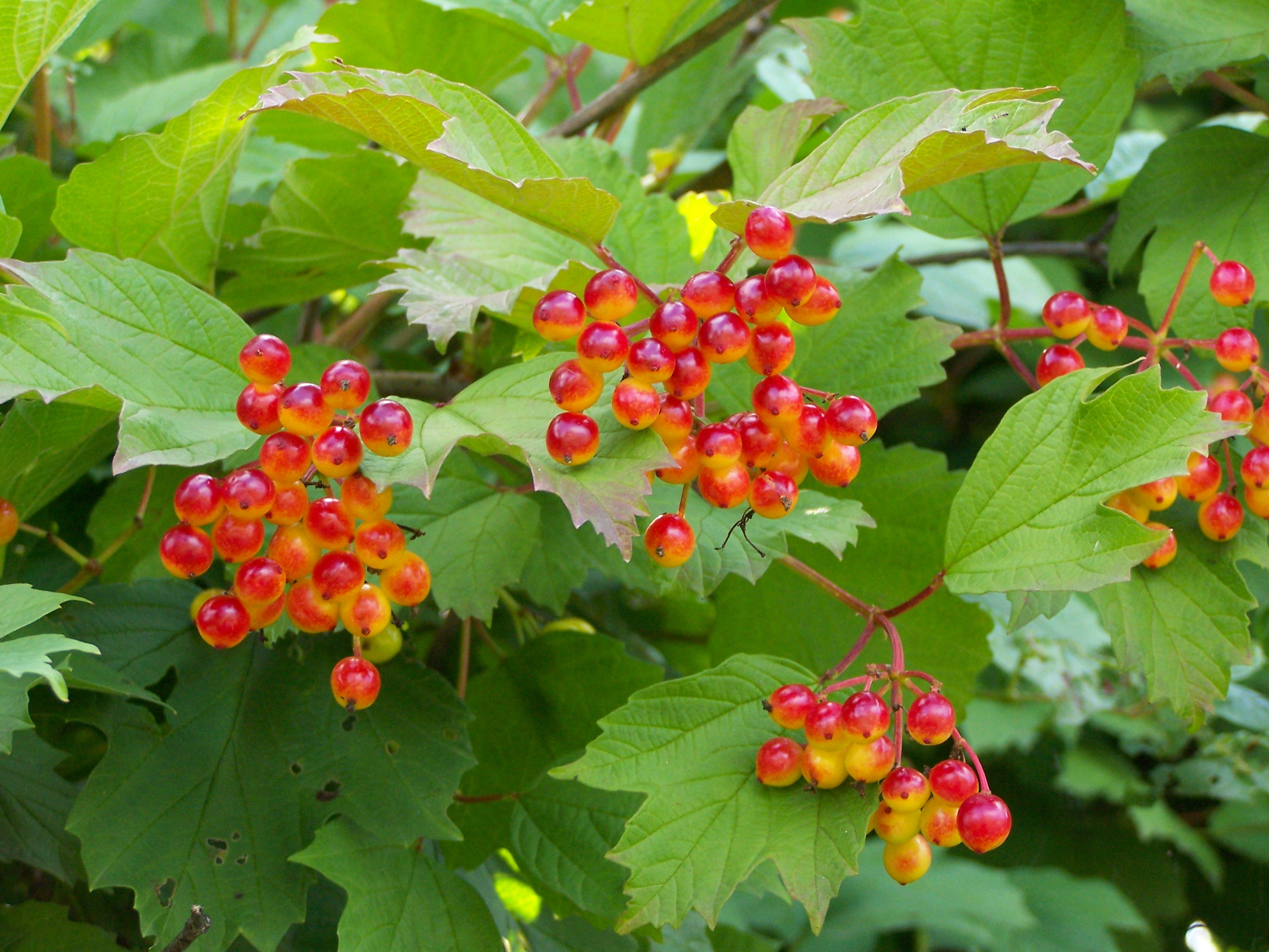 Viburnum opulus plant with fruit. Photo taken by Jan Mehlich on July 14, 2007