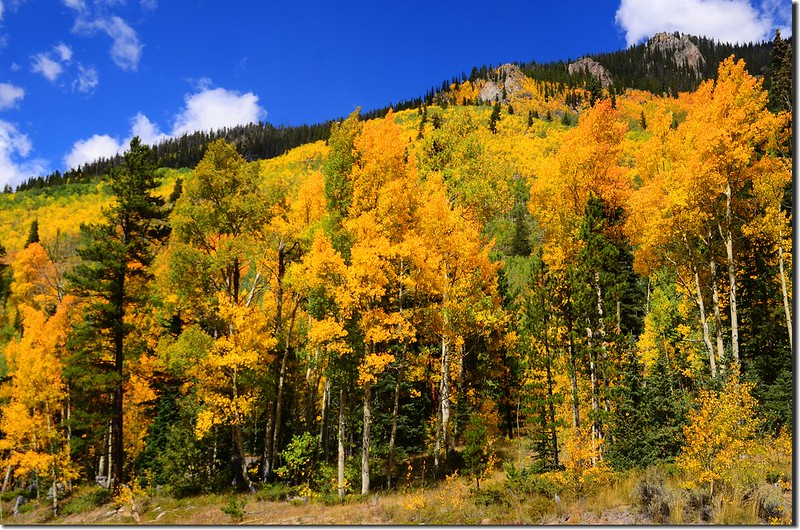 Aspen trees in autumn,  Montezuma Rd, Keystone (4)