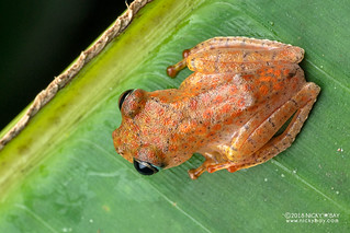 Fiery red bright-eyed frog (Boophis pyrrhus) - DSC_2695