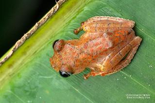 Fiery red bright-eyed frog (Boophis pyrrhus) - DSC_2695
