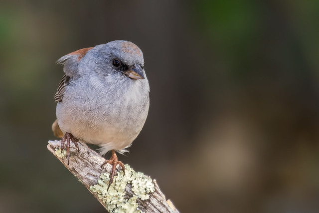 a-Dark-eyed-Junco-37-7D2-082216