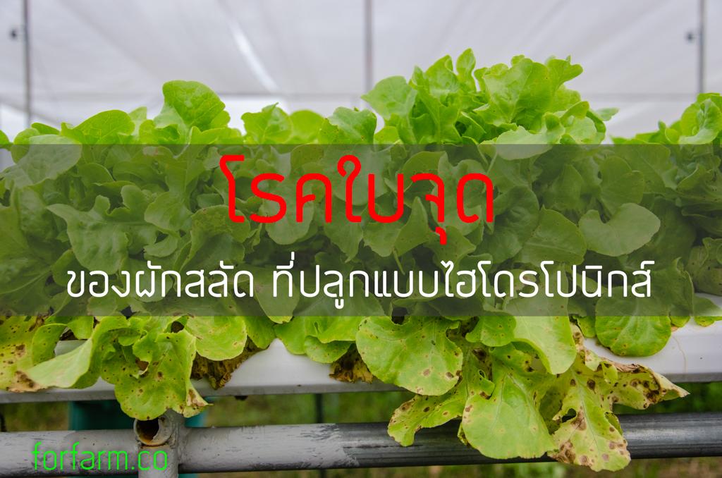 โรคใบจุด ในผักสลัด (Alternaria leaf spot)