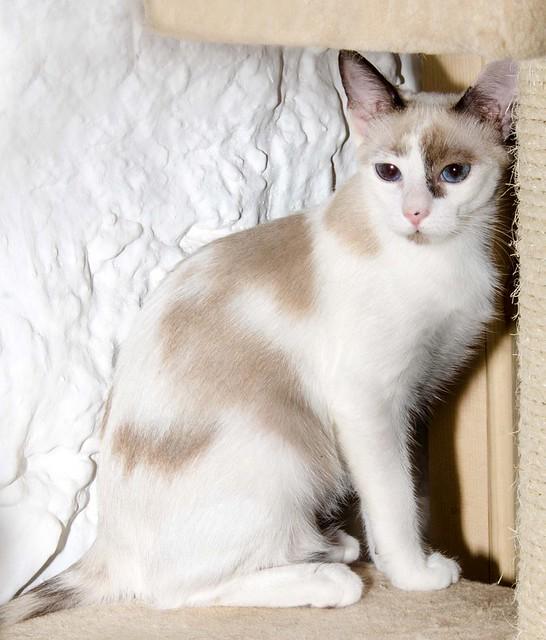Bora, gatita Siamesa tricolor traviesa y monísima esterilizada, nacida en Marzo´18, en adopción. Valencia. RESERVADA. 43707886614_1b6af8b92c_z
