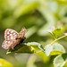 Speckled Wood Buttefly at RSPB Old Moor