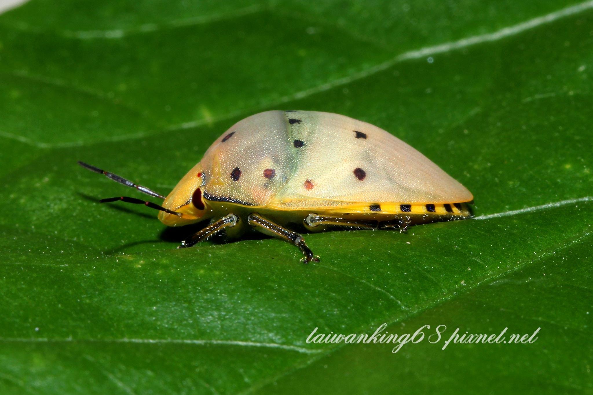 華溝盾椿象的若蟲