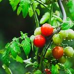 2018:09:12 17:33:23 - Garden Tomatoes Bokeh - Tarbek - Schleswig-Holstein - Germany