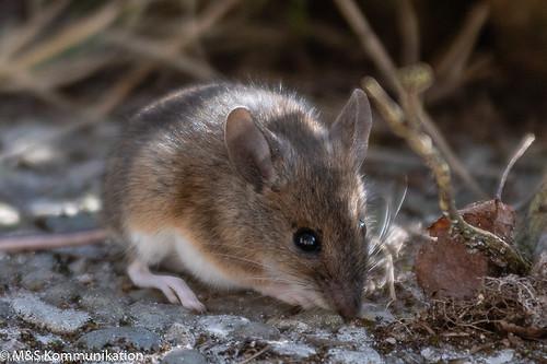 Gelbhalsmaus aufgenommen im heimischen Garten - Yellow-necked mouse photographed in the home garden