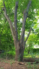 Five-fingered maple