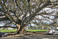 Auckland, NZ - Kohimarama Beach - Banyan Tree