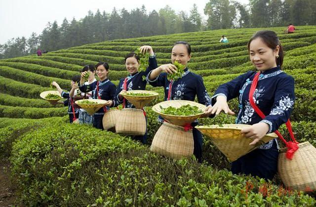国内茶叶污染严重 海外我自己这样种茶炒茶