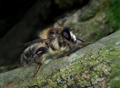 Criorhina pachymera ♂, Forêt indivise de Stambruges (Beloeil; Saint-Ghislain), Hainaut, Belgique