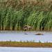 Marsh Harrier - Sumpfweihe