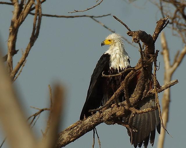 Wet African Fish Eagle (Haliaeetus vocifer), Odzala-Kokoua National Park, Congo Republic IMGP5511.JPG 2
