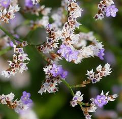 Sea Lavander (Limonium vulgare)