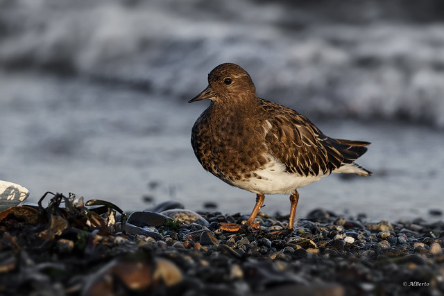 Black Turnstone / Tournepierre noir