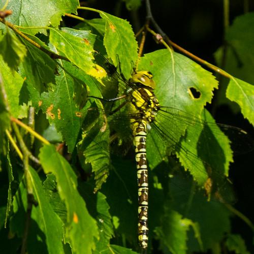 Southern hawker (Aeshna cyanea), Ludford