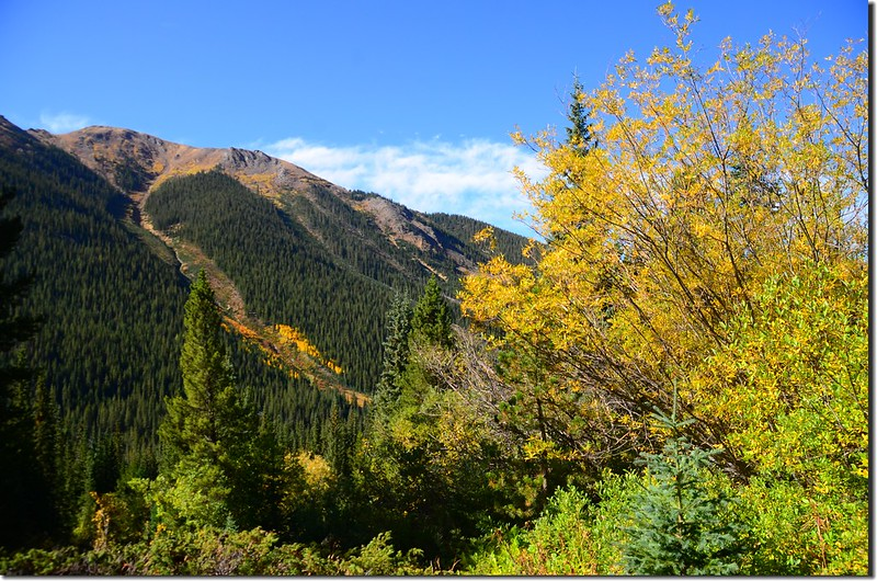 Aspen trees in autumn,  Chihuahua Gulch Trail (7)