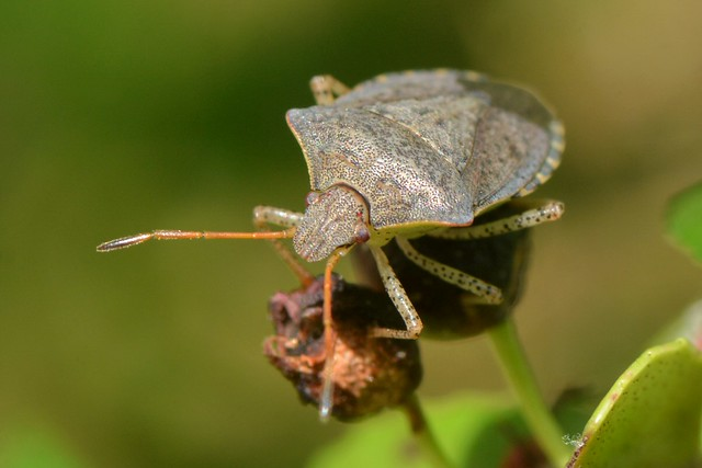 Lovely gray Stink Bug (Pentatomidae) on Huckleberries