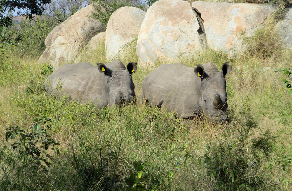 white-rhinos-horns
