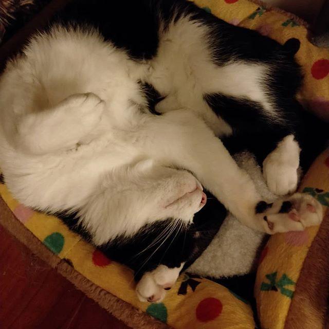 20180830 早安 #戴家黑糖蜜 #宅貓日常 #cats #livingwithcats