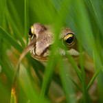 Frog in the grass - https://www.flickr.com/people/28541561@N04/
