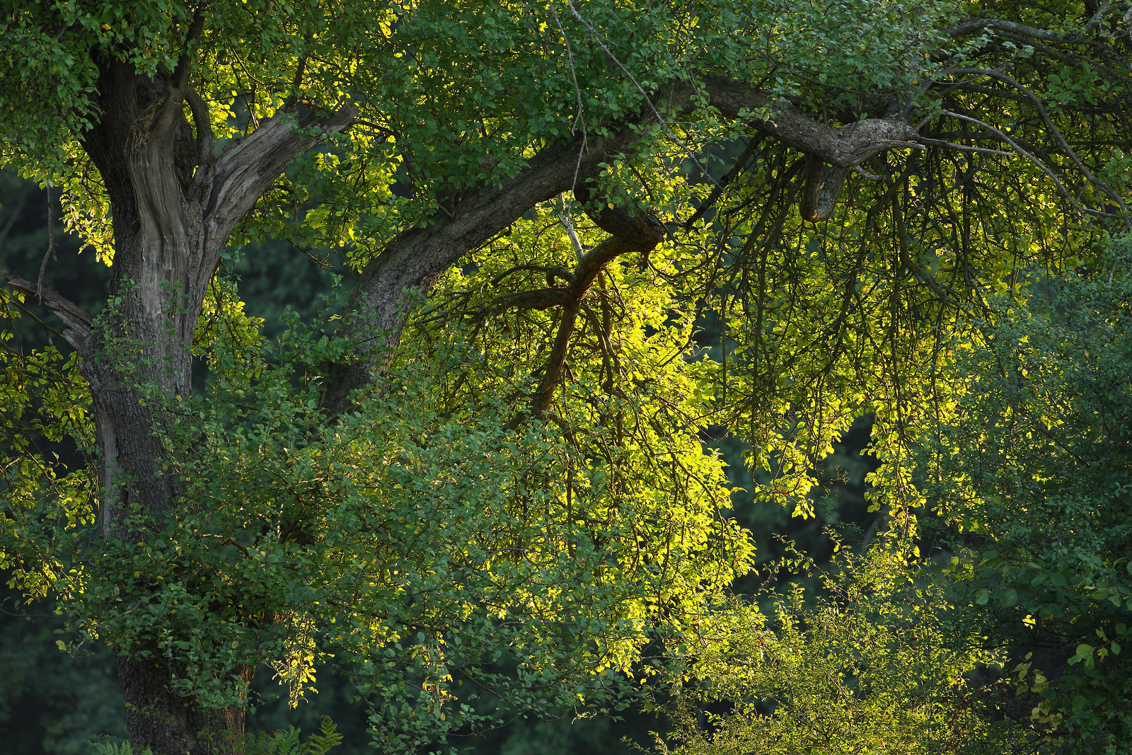Mature Oak in Evening Light