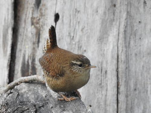 wren troglodytestroglodytes zaunkönig käblik bird p900 nikoncoolpixp900
