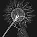 X-Ray, Sunflower by Harold Davis