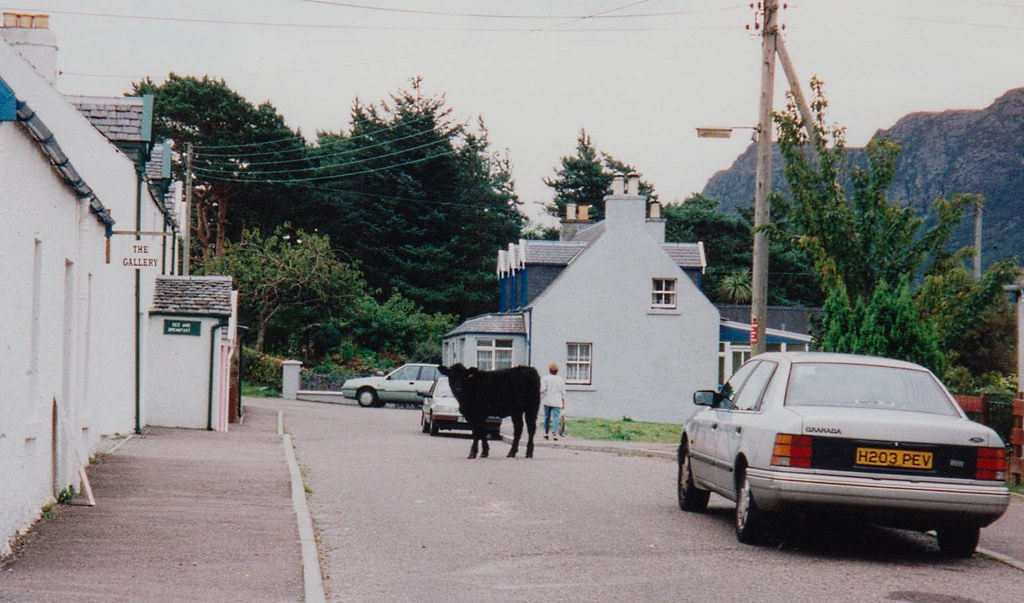 Cow walking down the street in Plockton, Scotland, 10/9/1998