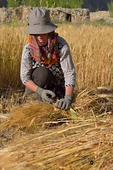 Binding the sheaves, a Wakhi lady harvesting barley  in Chapursan valley 06/08/2018 :copyright: Bernard Grua