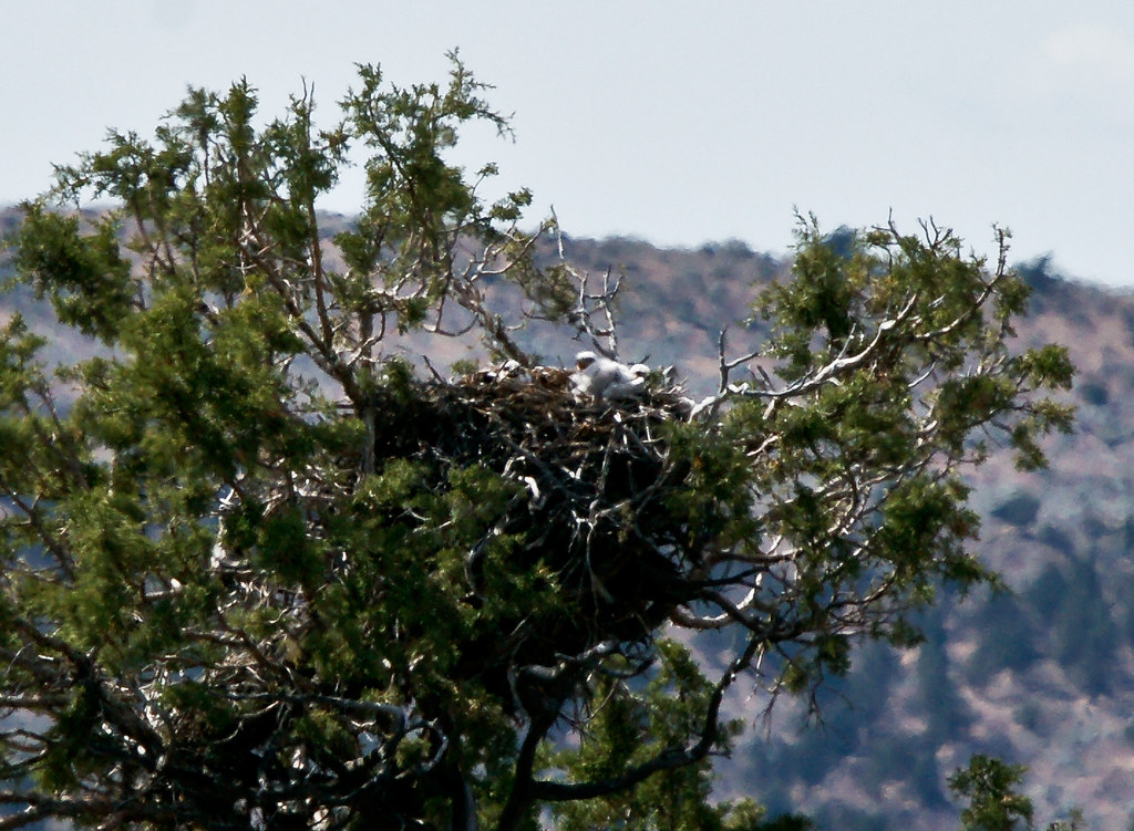 ferruginous hawk nest