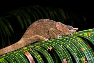 Short-horned chameleon (Calumma brevicorne) - DSC_2985