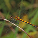 Seaside Dragonlet - Erythrodiplax berenice, Eastern Neck National Wildlife Refuge, Rock Hall, Maryland by judygva