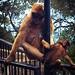 Macacos de Gibraltar