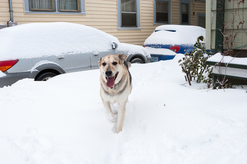 Our neighbor's dog Porter comes running to meet me in heavy snow in December 2008