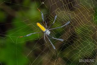 Golden orb weaver (Trichonephila inaurata madagascariensis) - DSC_8509