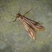 Bramble False-feather - Schreckensteinia festaliella