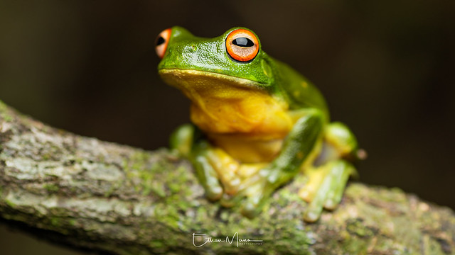 Red-eyed Tree Frog Litoria, Canon EOS 7D MARK II, Tamron SP AF 90mm f/2.8 Di Macro