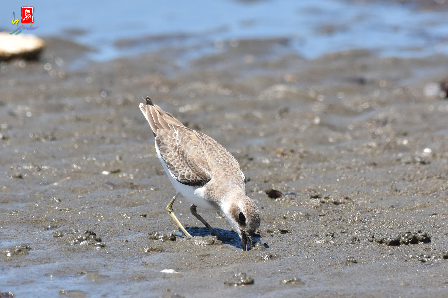 Greater_Sand_Plover_3019
